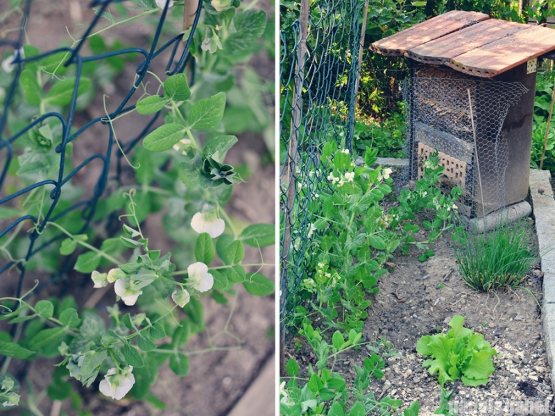 peas and bee hive