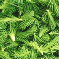 Foraging and finding - Fir tip honey
