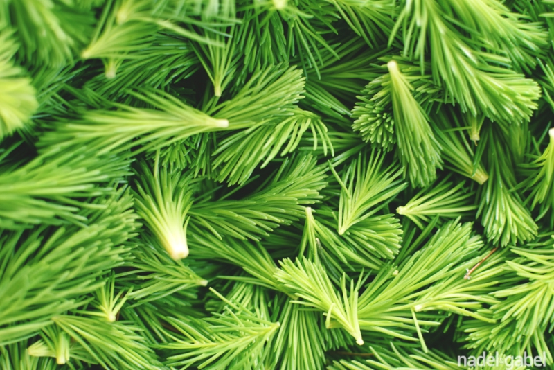 young fir tips